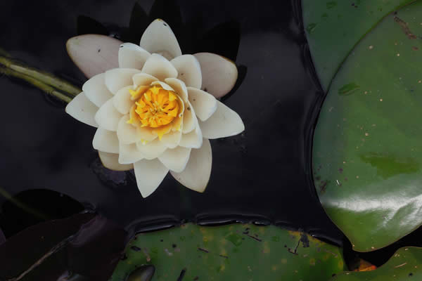 Picture of an orchid on calm water